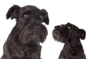 Adult Schnauzer and puppy