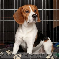Adult Beagle sitting in dog crate