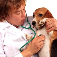 Veterinarian listening to Beagle's heart