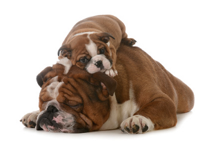 Puppies and older dogs... the bulldog
