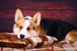 Corgi in comfortable bed
