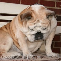 Drowsy English Bulldog