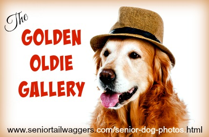 Beautiful older Golden Retriever - senior dog photos