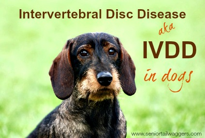 About IVDD in dogs