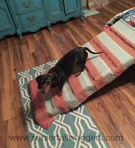 Dachshund with IVDD using his homemade ramp