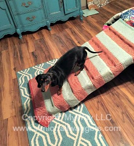 Dachshund with IVDD using a ramp