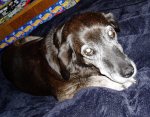 Senior dog lying on blanket