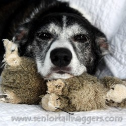 older dog with comfort object