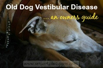 Old Dog Vestibular Disease - elderly Greyhound