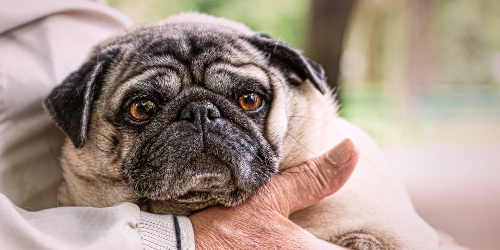 Older Pug dog in mans' arms