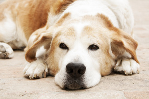 Jekyll and hyde syndrome in dogs
