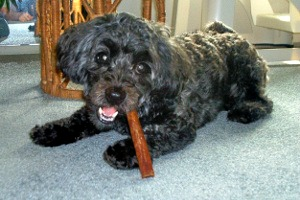 Small senior dog with chew stick toy