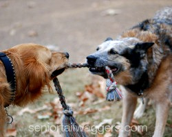 Two older dogs playing tug-of-war