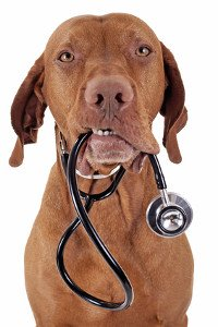 Older Vizla with stethoscope