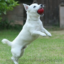 Small white dog playing with a ball