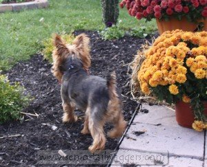 Older Yorkshire Terrier